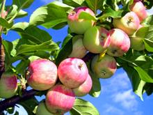 Нижняя Синячиха. Яблочный спас.